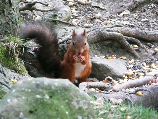 nutstile farm red squirrel